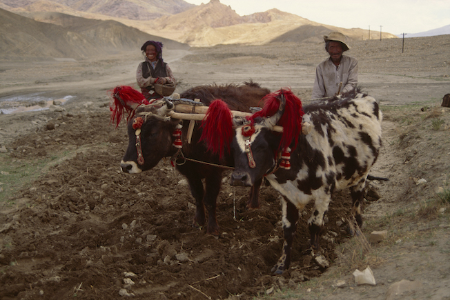 3 1994 Yaks Plowing Field